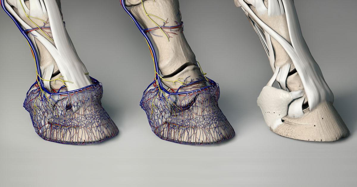 Hoof Explorer - 3D Anatomie Software für den Huf des Pferdes
